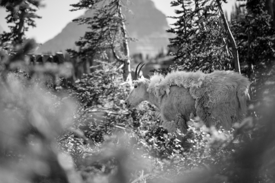 Mountian Goat BW in pines small-2