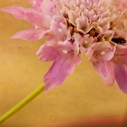 scabiosa portrait close in