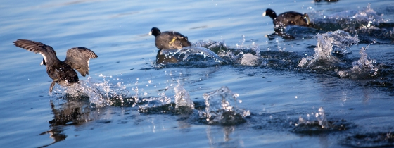 american coots on the run - Alameda
