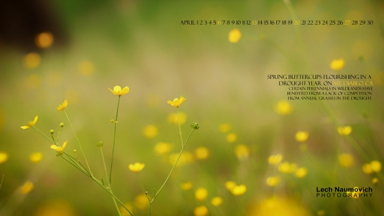 April 2014 Calendar desktop Buttercups in Drought - Lech Naumovich Photography