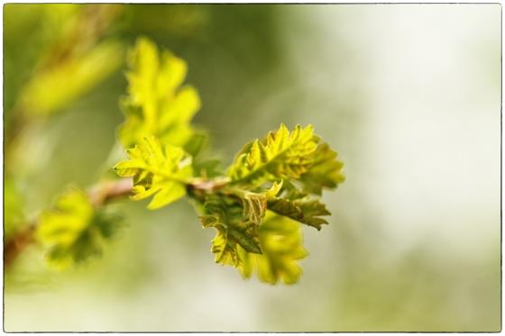 valley oak slow to open