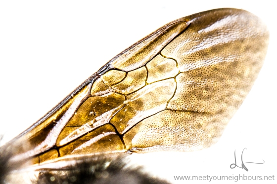 Bombus wing MYN