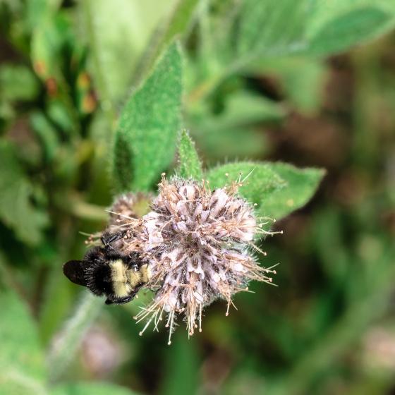 Bombus cf. vosnesenskii nectaring on Phacelia
