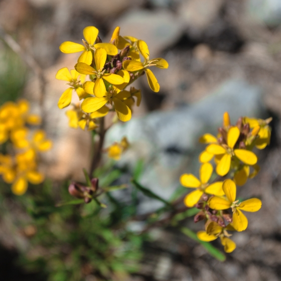 Erysimum capitatum ssp perenne-6654