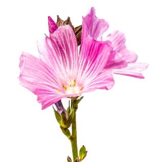 Sidalcea malvaeflora MYN-0178