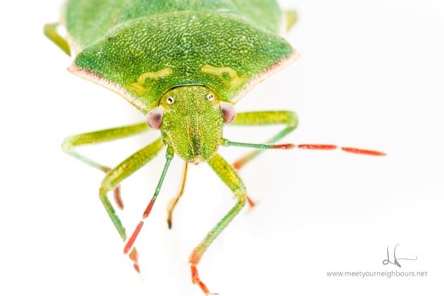 Stinkin' Green Bug - Genus Chinvara - MYN - Lechphoto-com