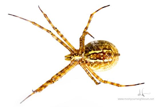 Banded garden spider - Argiope trifasciata - bottom- MYN 2
