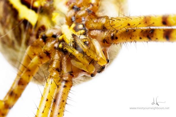 Banded garden spider - Argiope trifasciata - MYN 2