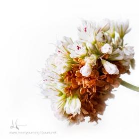 Eriogonum parvifolium MYN
